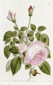 John Lindley - Illustration From The Botanical Register