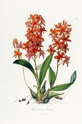John Lindley - Star Orchid