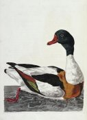 Thomas Pennant - Hand Colored Engraving of a Duck