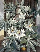 Robert John Thornton - Passion Flowers