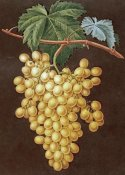 George Brookshaw - Alexandria Grapes