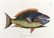 Mark Catesby - The Parrot Fish