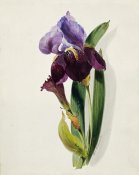Thomas Holland - A Flag Iris