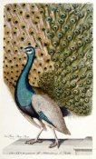 Johann Leonhard - Male Peacock In Full Display