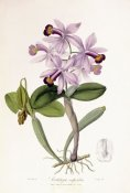 John Lindley - Cattleya Superba Orchid