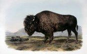 John James Audubon - American Bison or Buffalo
