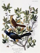John James Audubon - Boat Tailed Grackle - Male and Female