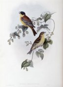 John Gould - Black Headed Bunting
