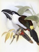 John Gould - Black-Billed Hill Toucan