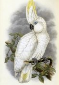 John Gould - Blue-Eyed Cockatoo