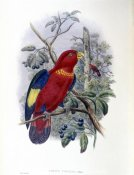 John Gould - Blue-Thighed Lory