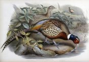 John Gould - Chinese Ring-Necked Pheasant