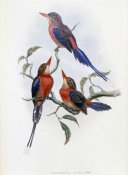 John Gould - Crimson & Brown Kingfisher