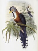 John Gould - Curled-Crested Cuckoo