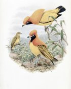John Gould - Golden Bird of Paradise