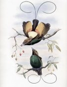 John Gould - Golden-Winged Bird of Paradise