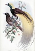 John Gould - Greater Bird of Paradise