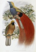 John Gould - Grey-Chested Bird of Paradise