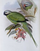 John Gould - Grey-Headed Parakeet