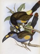 John Gould - Laminated Hill Toucan
