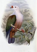 John Gould - New-Ireland Fruit-Pigeon
