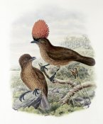 John Gould - Orange-Crested Bower-Bird