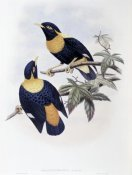 John Gould - Orange-Crested Starling