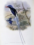 John Gould - Port-Moresby Racket-Tailed Kingfisher