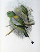 John Gould - Racket-Tailed Parrot