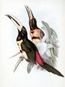 John Gould - Red-Rumped Aracari (Toucan)