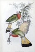 John Gould - Red-Throated Nyctiornis