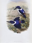 John Gould - White-Backed Kingfisher