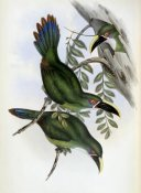 John Gould - White-Banded Groove-Bill (Toucan)
