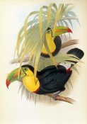 John Gould - Short Billed Toucan
