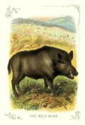 Unknown - The Wild Boar, 1900