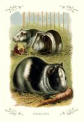 Unknown - Guinea Pigs, 1900