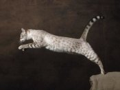 Yann Arthus-Bertrand - Snow Chocolate Spotted Tabby Bengal Cat