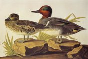 John James Audubon - American Green-Winged Teal