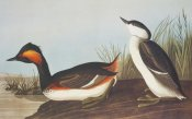 John James Audubon - Eared Grebe