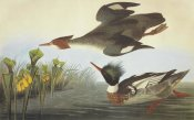 John James Audubon - Red-Breasted Merganser