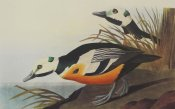 John James Audubon - Western Duck