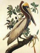 John James Audubon - Brown Pelican