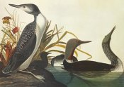 John James Audubon - Red-Throated Diver