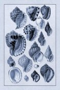 G.B. Sowerby - Shells: Purpurifera (Blue)