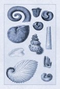 G.B. Sowerby - Shells: Ammonacea (Blue)
