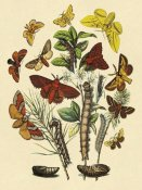 W. F. Kirby - Moths: G. Quercifolia, L. Potatoria, et al.