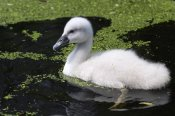 Roland Abspoel - Mute Swan chick swimming, South Holland, Netherlands