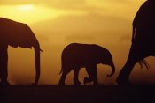 Karl Ammann - African Elephant herd with calf silhouetted at sunset, endangered, Amboseli National Park, Kenya