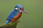 Ingo Arndt - Common Kingfisher, Hessen, Germany