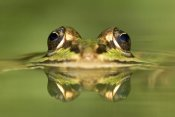 Ingo Arndt - Edible Frog with reflection, Germany